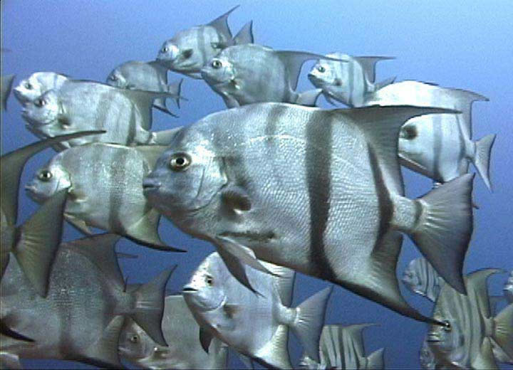 Related keywords suggestions for spadefish for Triple tail fish recipes